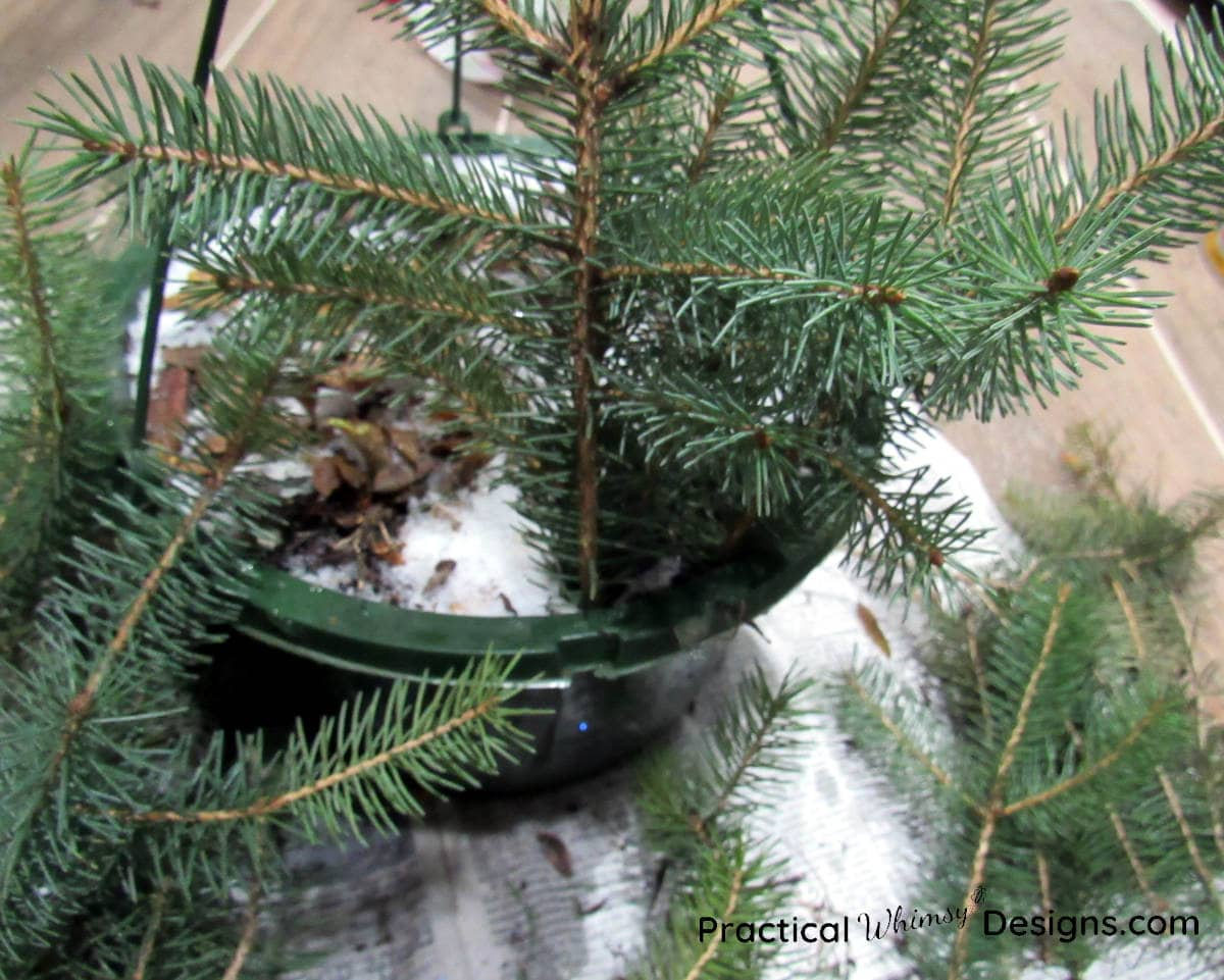 Pine boughs sticking out of dirt in pot
